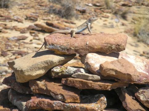 Chaco Lizard