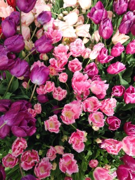 Tulips closeup pink