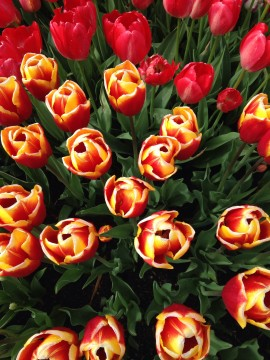 Tulips closeup red