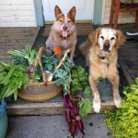 Dougie & Bandit on porch Vegies