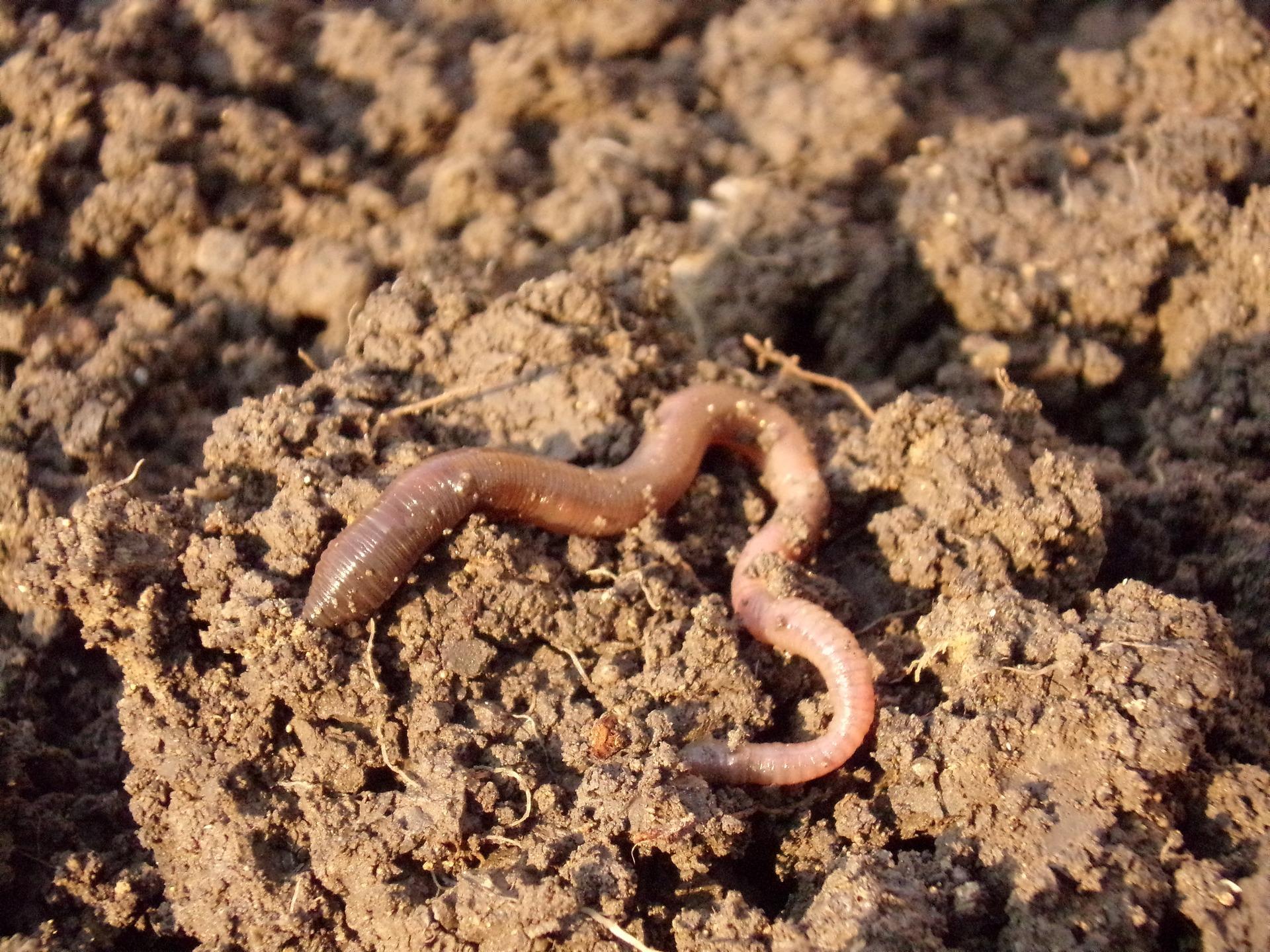 earthworm-686593_1920