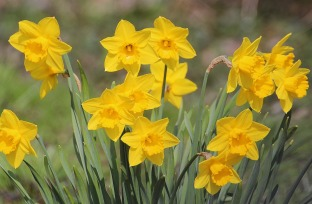 narcissus-pseudonarcissus-2225201_1920