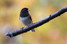 2018_bird_week_15_dark-eyed_junco